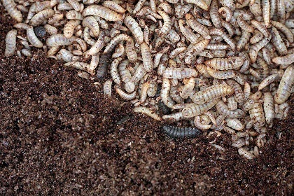 Insect feeding with Weda technology