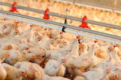 Feeding Ways Of Poultry