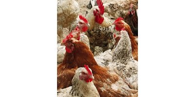 Humic Acids for Animal Breeding - Agriculture - Livestock