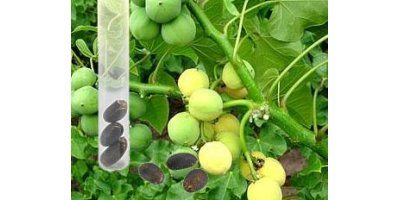 Measurement of oil content in jatropha curcas seeds for energy/environment sector