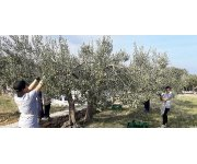 The First World Championship Of Olive Picking
