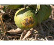 UF researchers find genetic cause for citrus canker, putting them a step closer to a cure