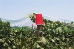 Vineyard Netting and Crop Netting