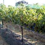 Bare Hand - Vineyard & Crop Bird Netting