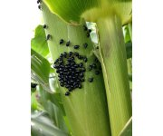 Threat of Corn Flea Beetle, Stewart's Bacterial Wilt Negligible in Ohio this Spring