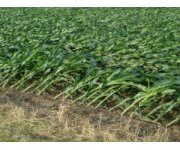 Ohio State Expert: Rootless Corn Can Recover