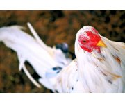 Ohio Poultry Owners Advised to Increase Biosecurity as Virus Spreads in Western U.S.