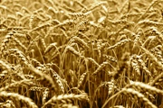 Ohio's 2015 Wheat Crop Faced Tough Year