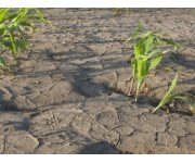 Late Corn Better Than Blighted Corn