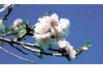 Irrigation solutions for Almond Crops