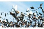 Irrigation solutions for Cotton Crops