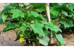 Irrigation solutions for Cucumber Crops - Agriculture - Crop Cultivation