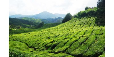 Irrigation solutions for Tea crops - Agriculture - Crop Cultivation