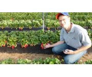 UF/IFAS study: Strawberry growers must pick, harvest earlier for best profit