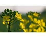 Oilseed rape genome sequenced