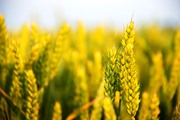 Wheat Initiative launches its Strategic Research Agenda