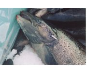 Engineered salmon may be a tough sell