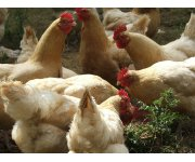 Bird flu takes biggest toll yet as virus hits chicken farms