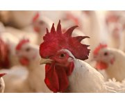 Ohio cancels Poultry Shows at Fairs amid Bird Flu Outbreak