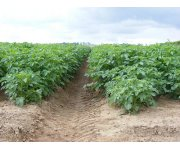 Alterra and partners to demonstrate the use of brackish water for potato cultivation in Egypt