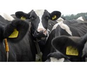 Genome analysis helps in breeding more robust cows
