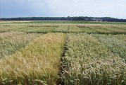 Independent variety trials show productivity of wheat varieties continues to increase