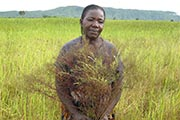 Parasitic plants cause huge damage to rice crops in Africa