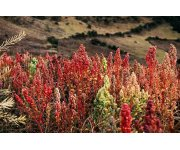 Faster and better breeding of sustainable and healthy quinoa