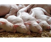 Gradual weaning prevents post weaning growth check in piglets raised in a group farrowing system