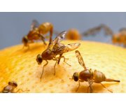 Four in one – new discovery on pest fruit flies