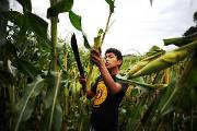 Major crop losses in Central America due to El Niño