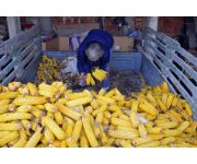 Food prices fall in November amid robust global inventories