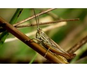 New satellite imaging to better forecast locust plagues