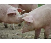Pork Producers Take Advantage of Trade Opportunities