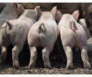 Pork Industry Better Equipped to Prevent and Respond to Disease