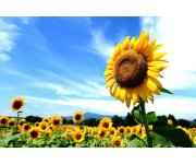 Harper Government Invests to Create New Seed Varieties for the Sunflower Sector