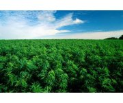 Canada: Harper Government Supports Canadian Hemp Industry