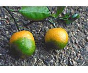 USDA Creates Multi-Agency Emergency Response Framework to Combat Devastating Citrus Disease