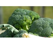 Scientists remove reliance on seasonality in new lines of broccoli, potentially doubling crop production