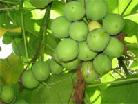 Lack of science means jatropha biofuel `could fail poor`