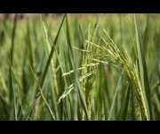 Egyptian invention cuts rice irrigation water by haf