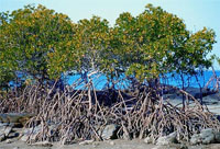 Mangroves declining faster than forests