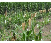 Syngenta announces corn traits licensing agreement
