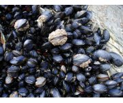 Taylor Shellfish First Farm in U.S. to Achieve Aquaculture Stewardship Council Certification