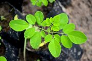 Moringa Biodiesel qualifies social, technical & commercial criteria for sustainable Advanced Biofuel