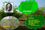 MOMAX3 - Moringa Perennial Seed for  seed oil plantation