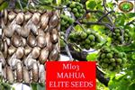 Biodiesel Seed - Model 2016 - Elite Mahua Seeds
