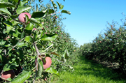 The Bumper Apple Harvest Continues – Dry Weather and Cone Bottom Tanks Needed!