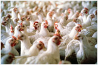 Arsenic in field runoff linked to poultry litter