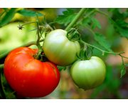 British Tomato Growers Association Conference 2015
